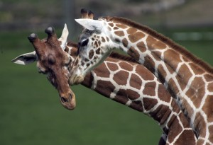 giraffe-necking
