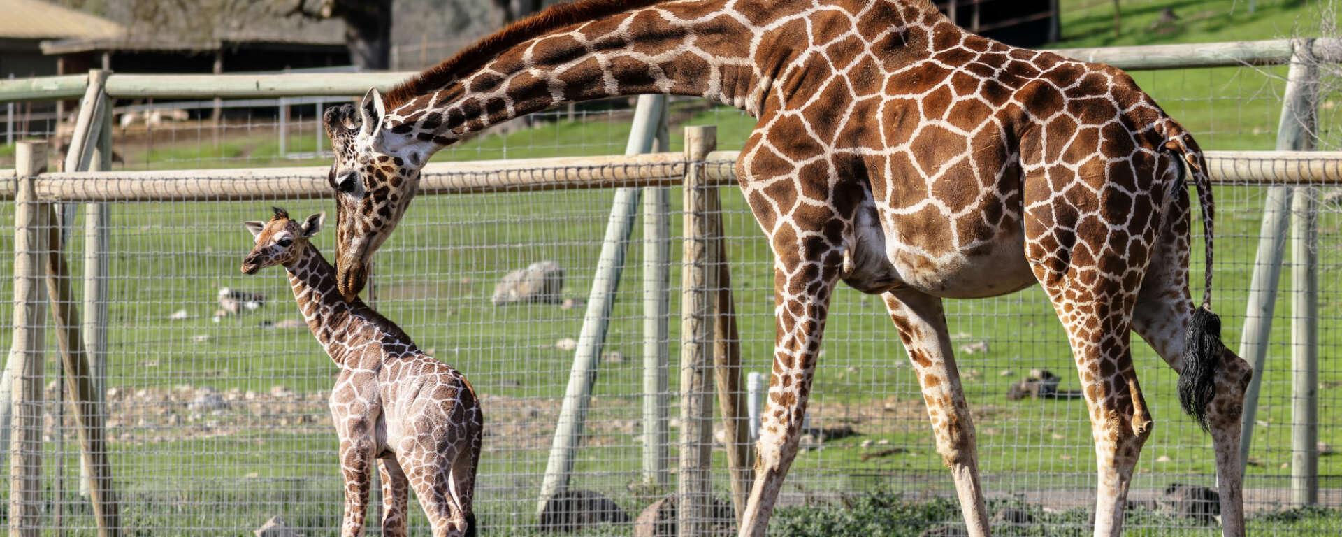 giraffe baby and mom