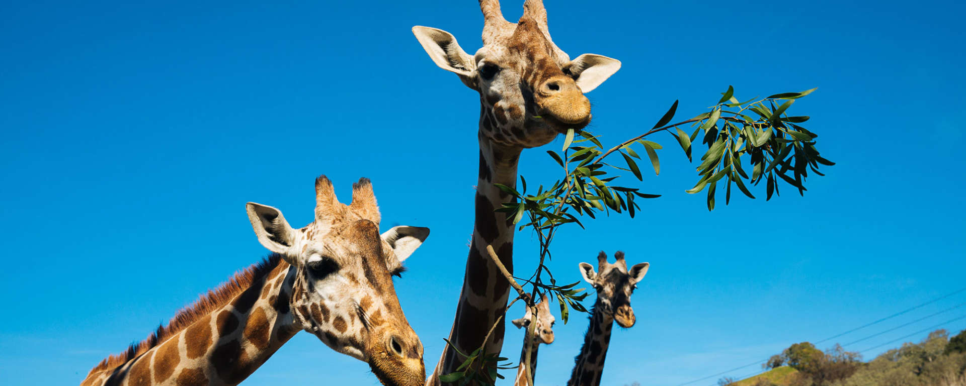 giraffes fathers day