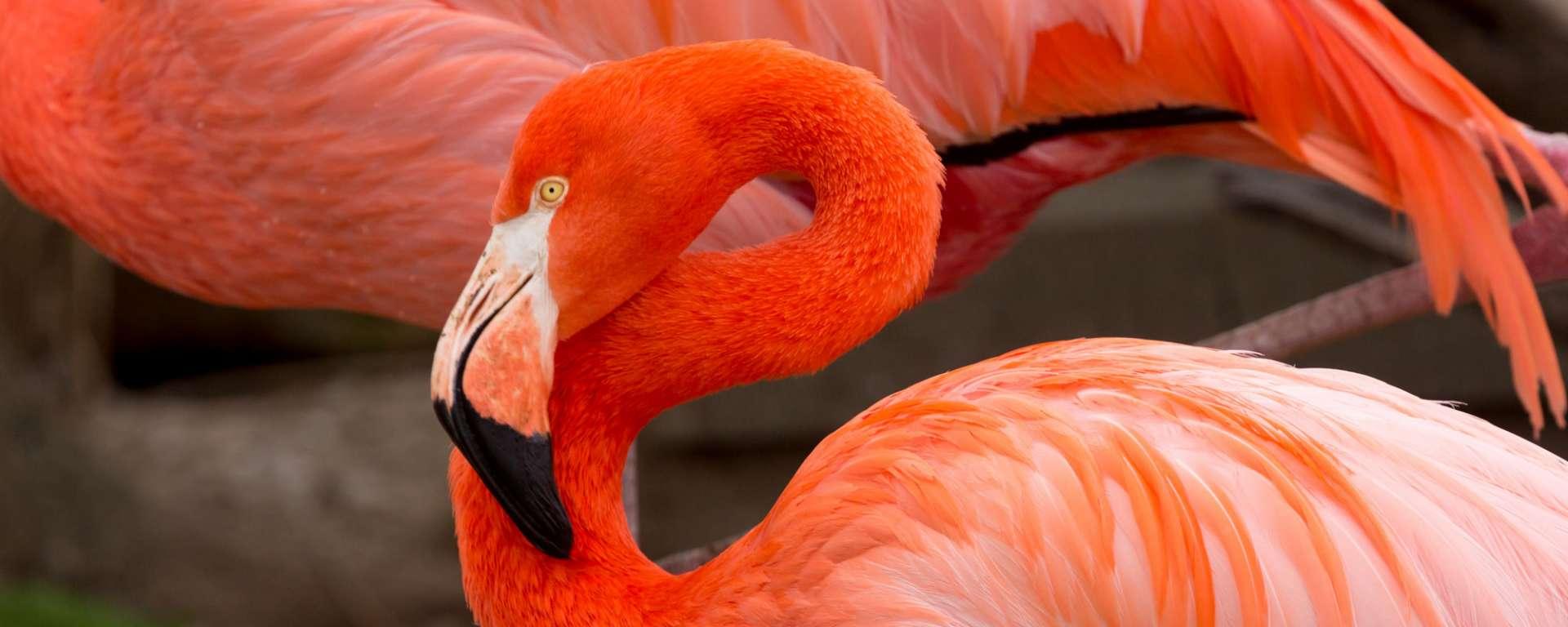 American Flamingo by Steve Murdock