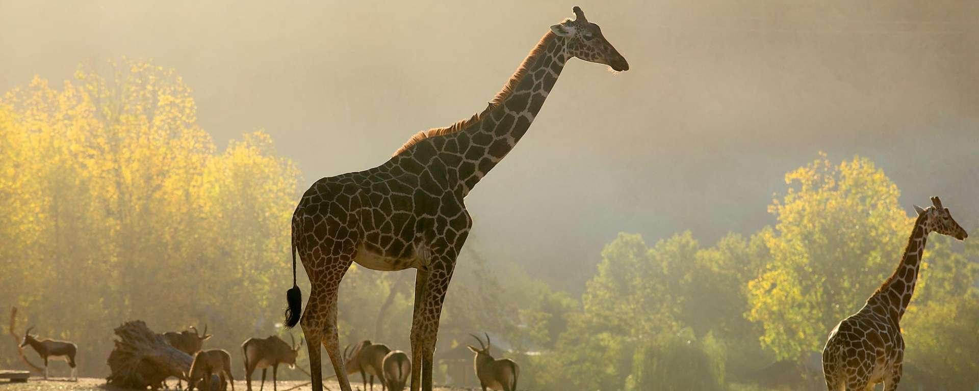 Safari at Dawn