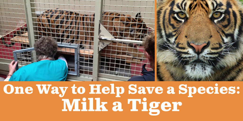 One Way to Help Save a Species: Milk a Tiger