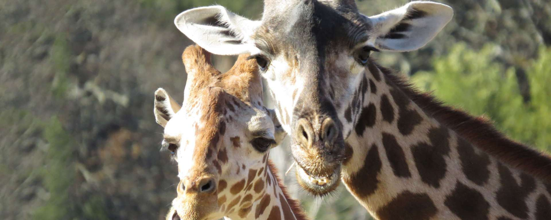 Giraffes Conservation Corner Taxonomy