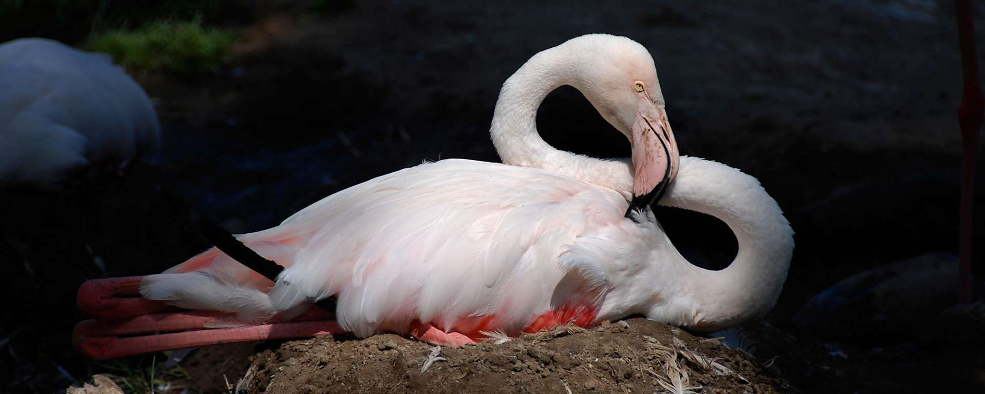 Greater Flamingo by Lindsay Farris