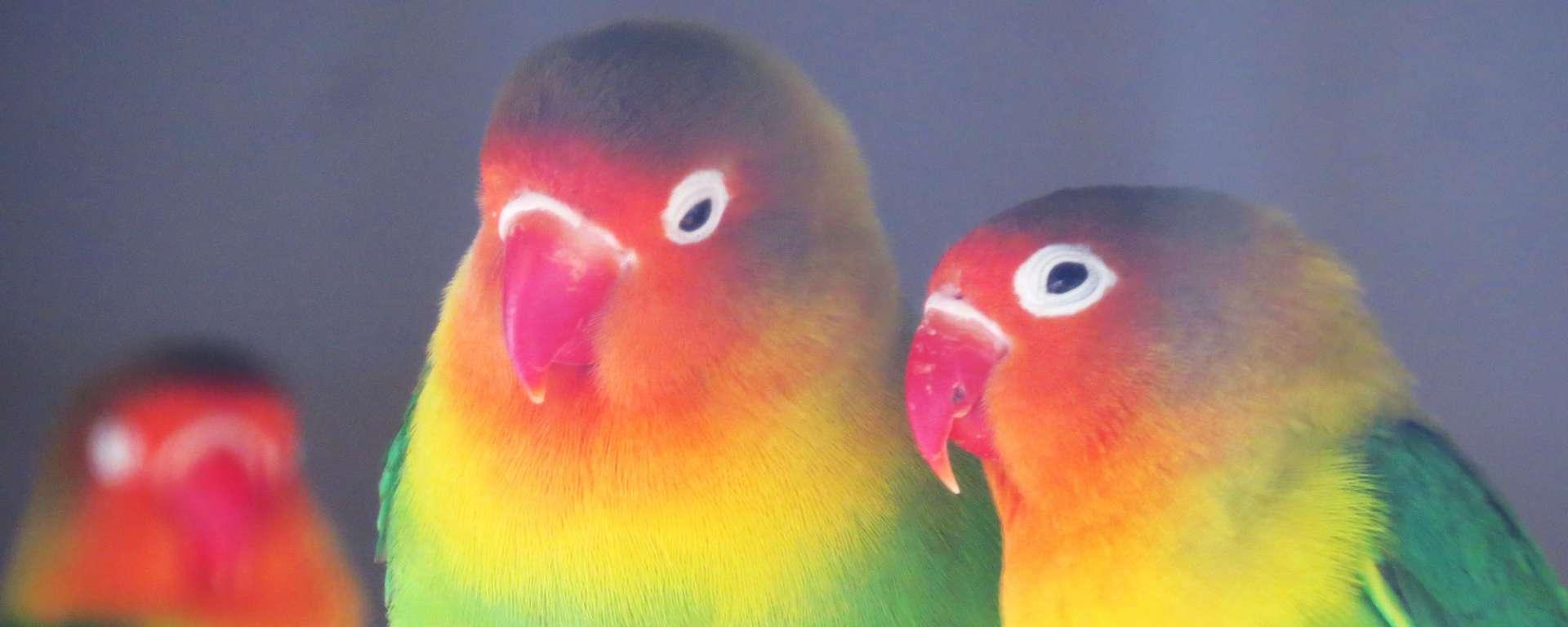 Lovebird by Cheryl Crowley