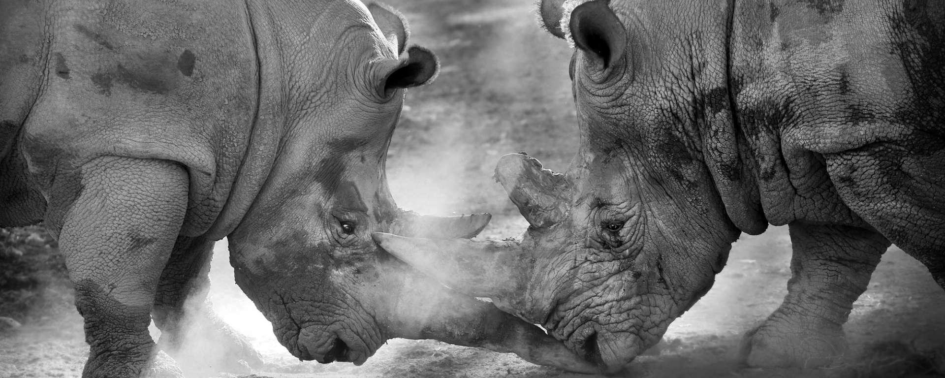 Rhinos Fighting
