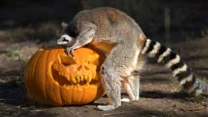 Ring-tailed Lemur Halloween