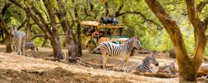 Safari with zebra by Ray Mabry