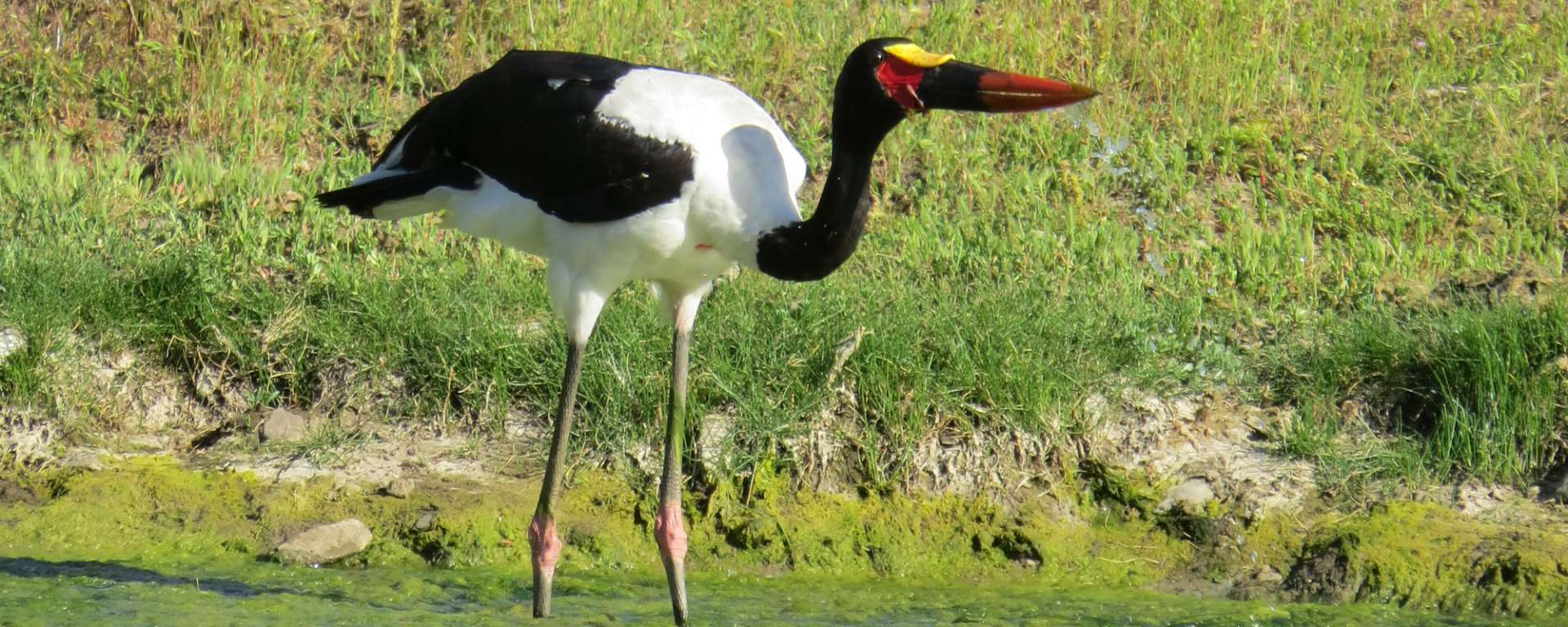 Saddle-bill Stork by Cheryl Crowley