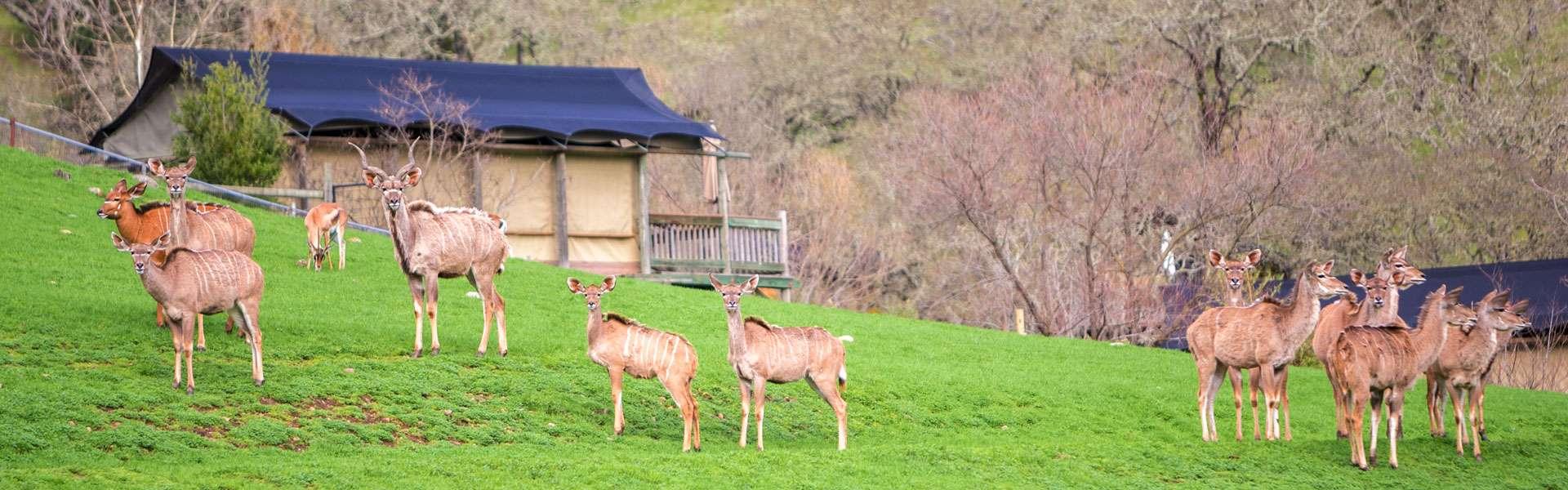 Sonoma Serengeti Kudu