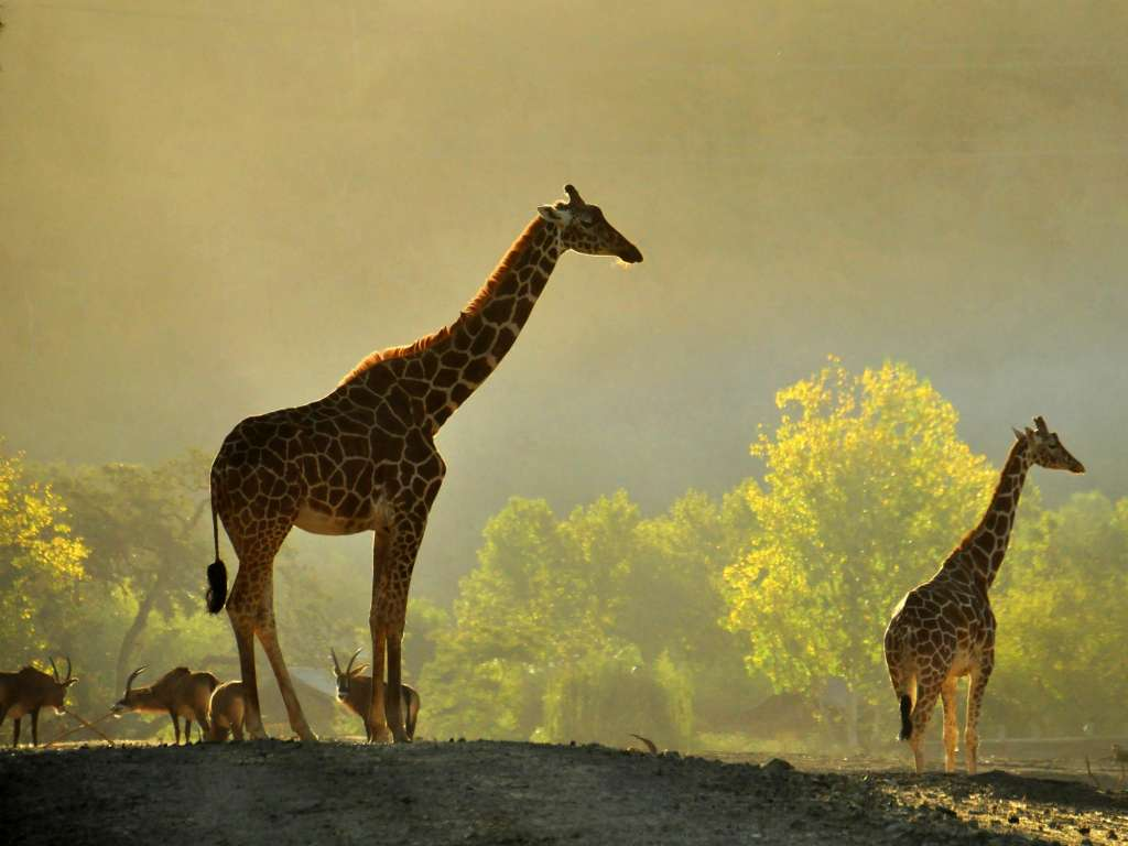 Safari at Dawn with Giraffes and Roan Antelope