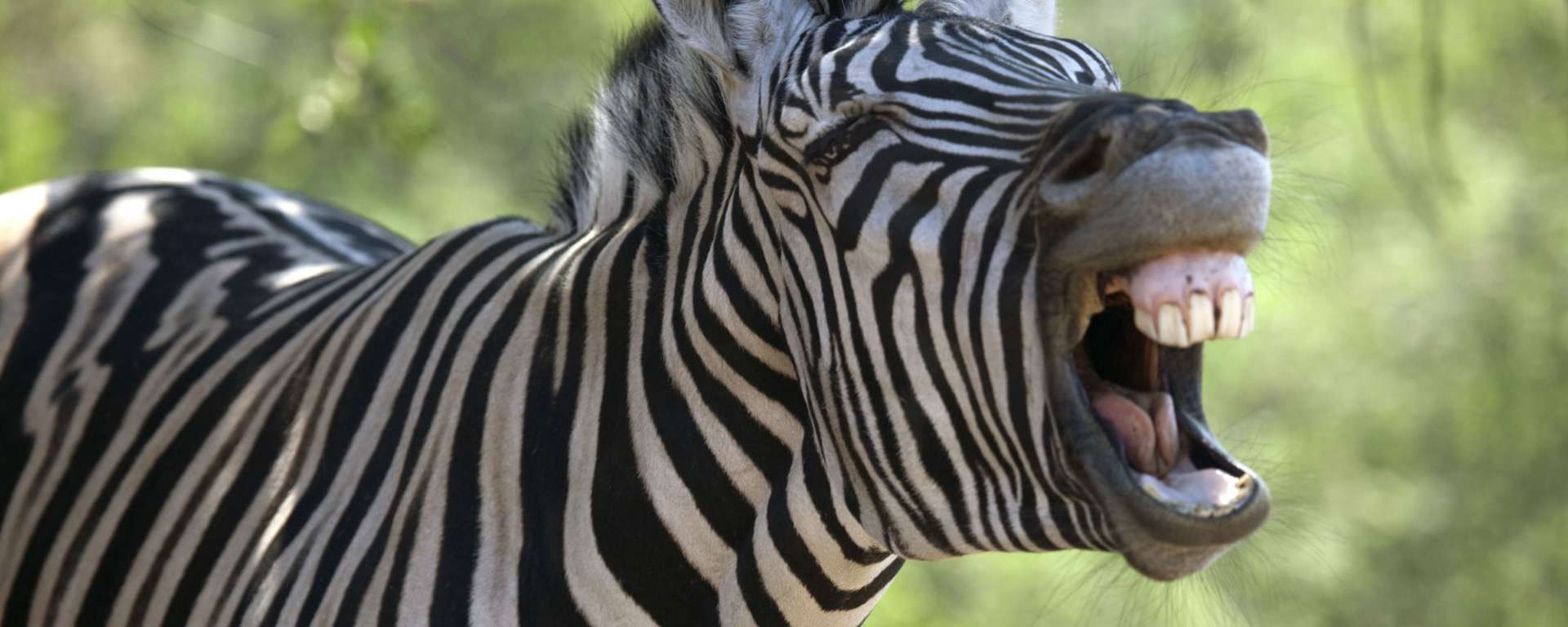 Zebra April Fool's