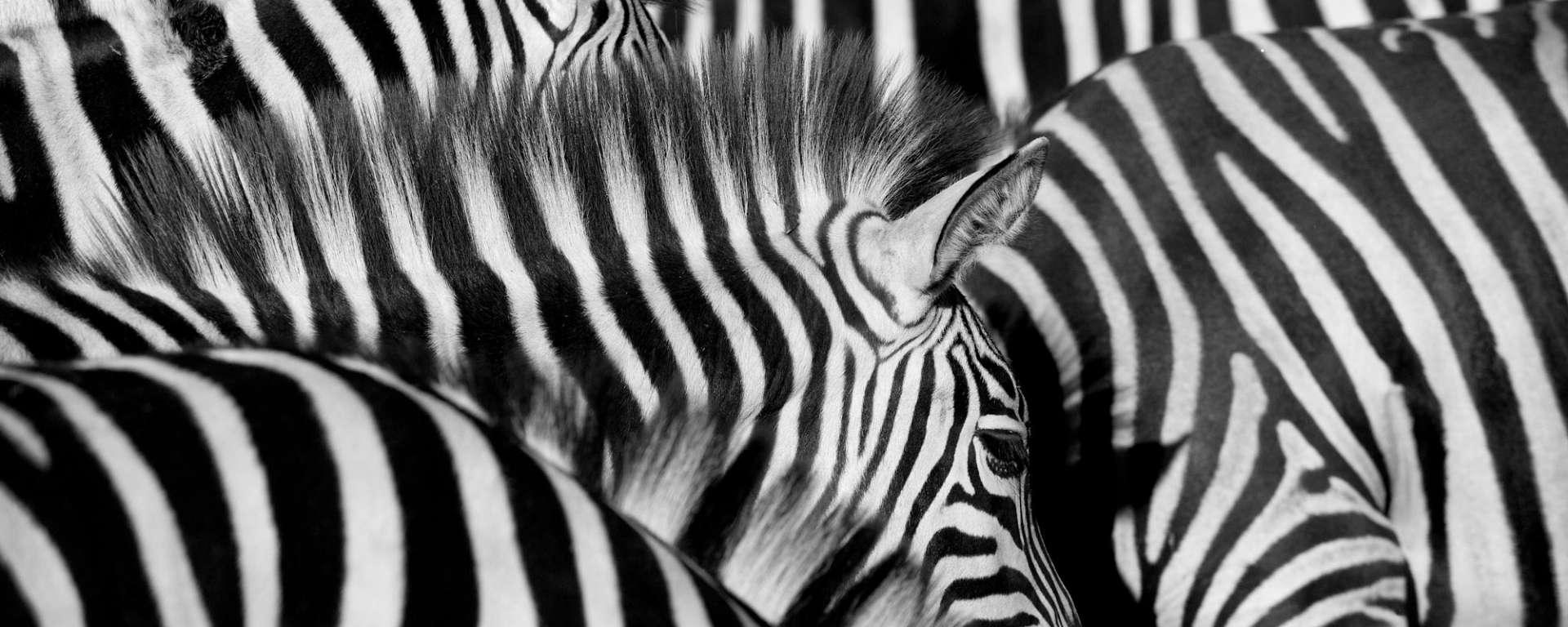 Zebra Wild Gift Cards