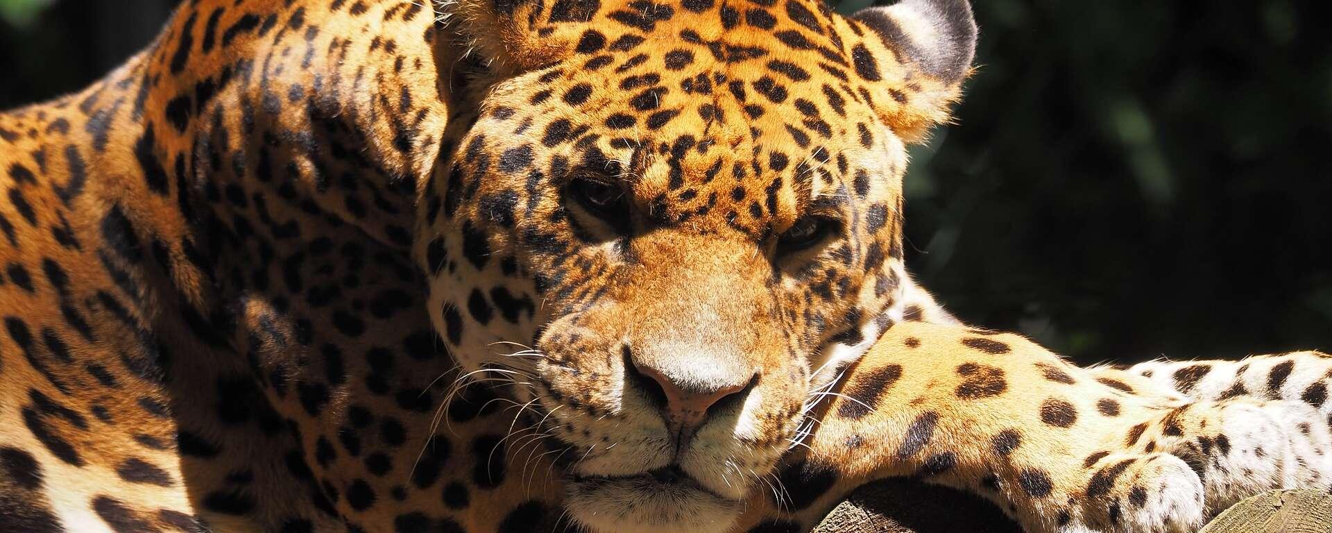 jaguar for project survival cat haven