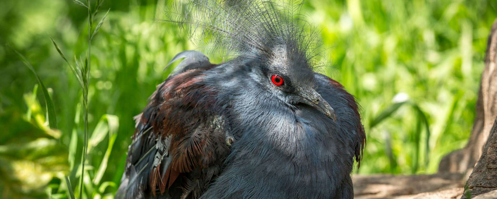 Blue Crowned Pigeon by Steve-Murdock