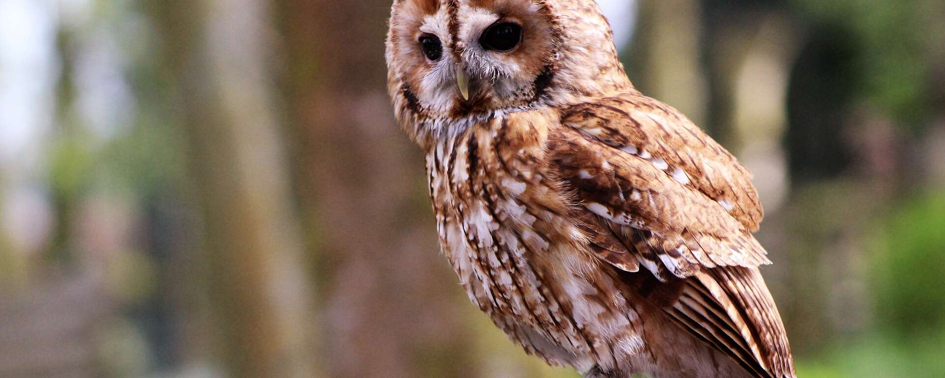 spotted owl for WildCare