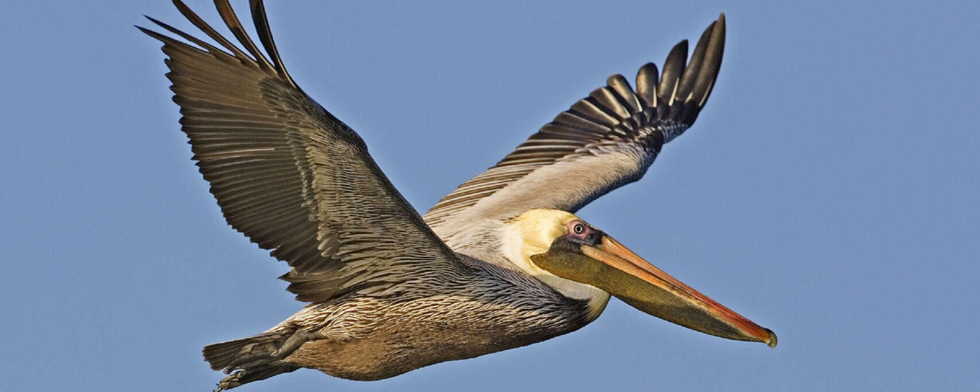 brown pelican bird