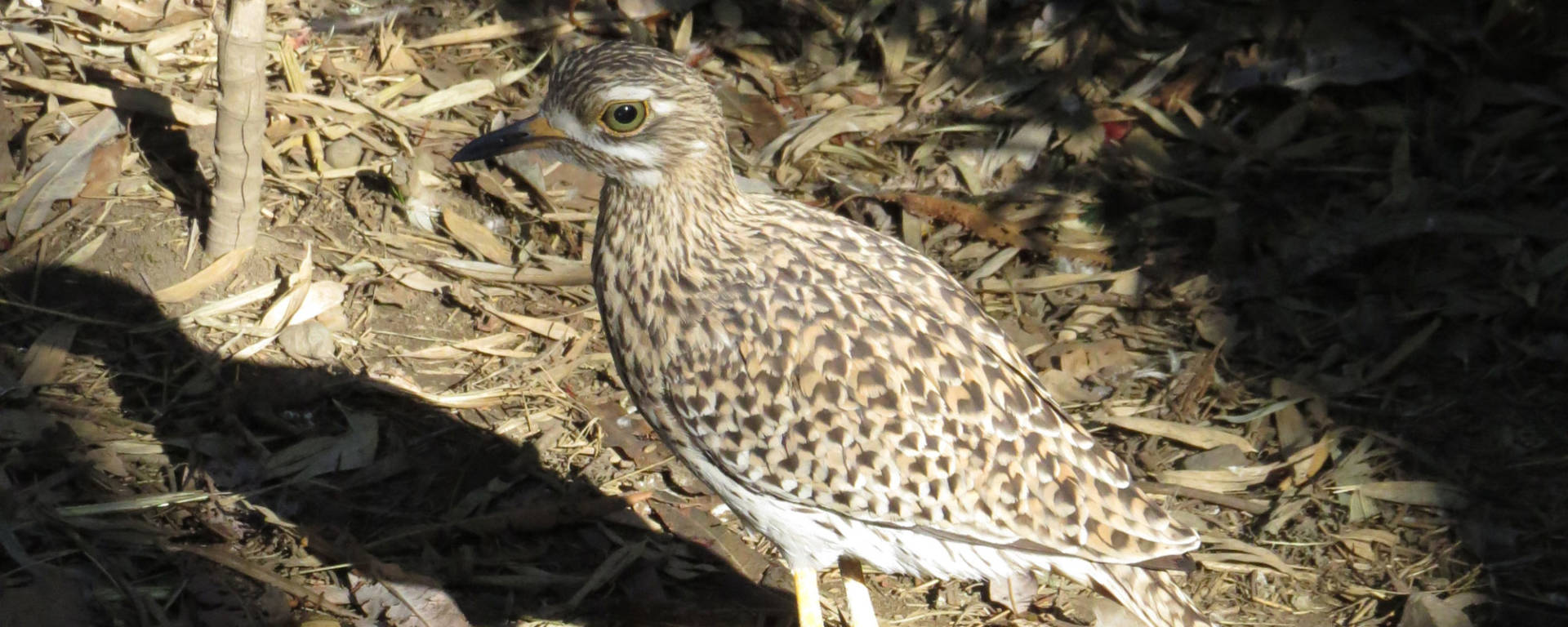 Cape Thick-knee by Cheryl Crowley