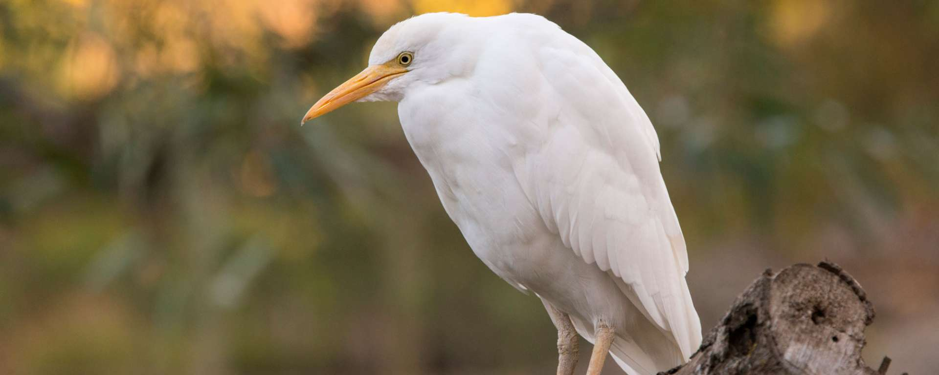 Cattle Egret by Charlie Morey