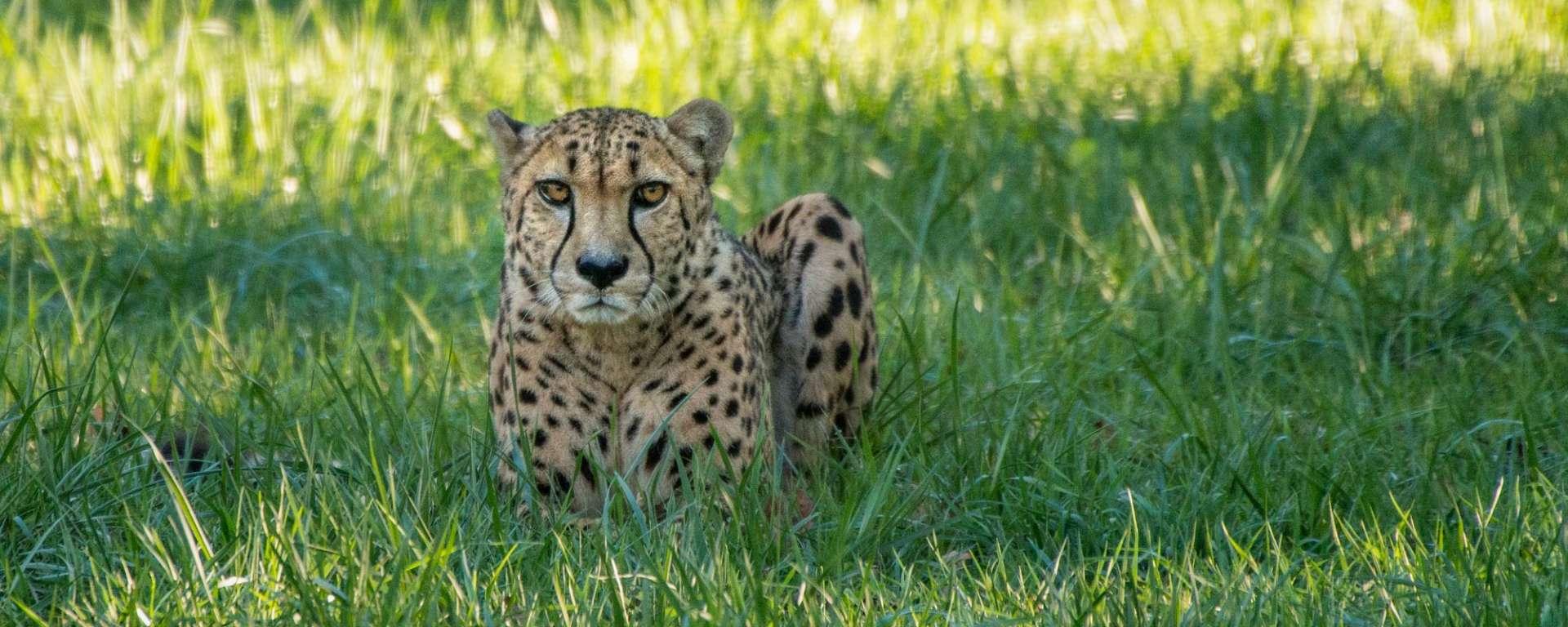 Cheetah Timbu