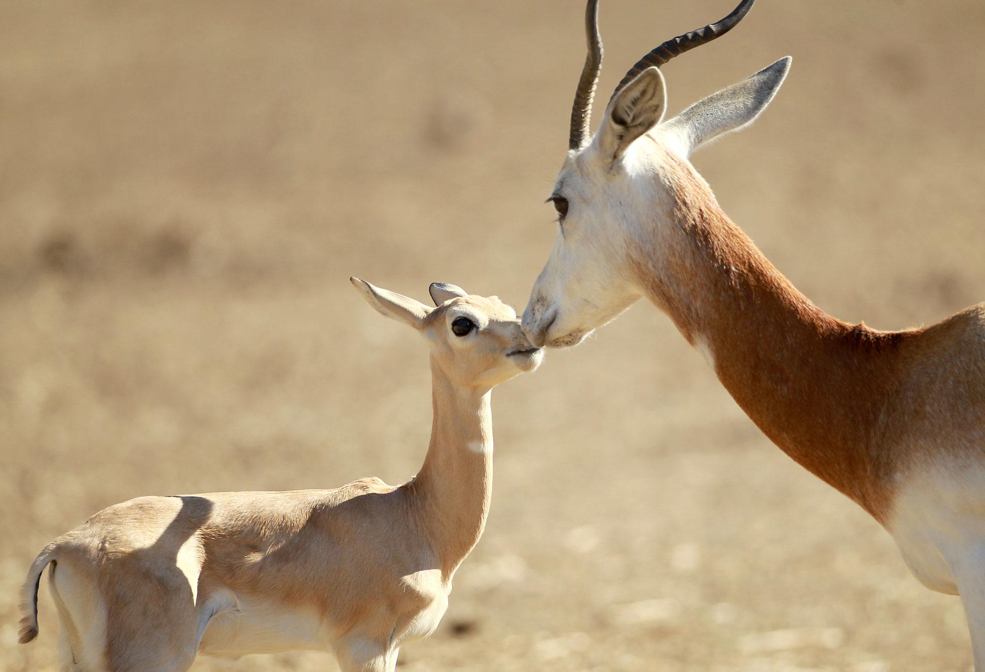 Dama Gazelle Baby