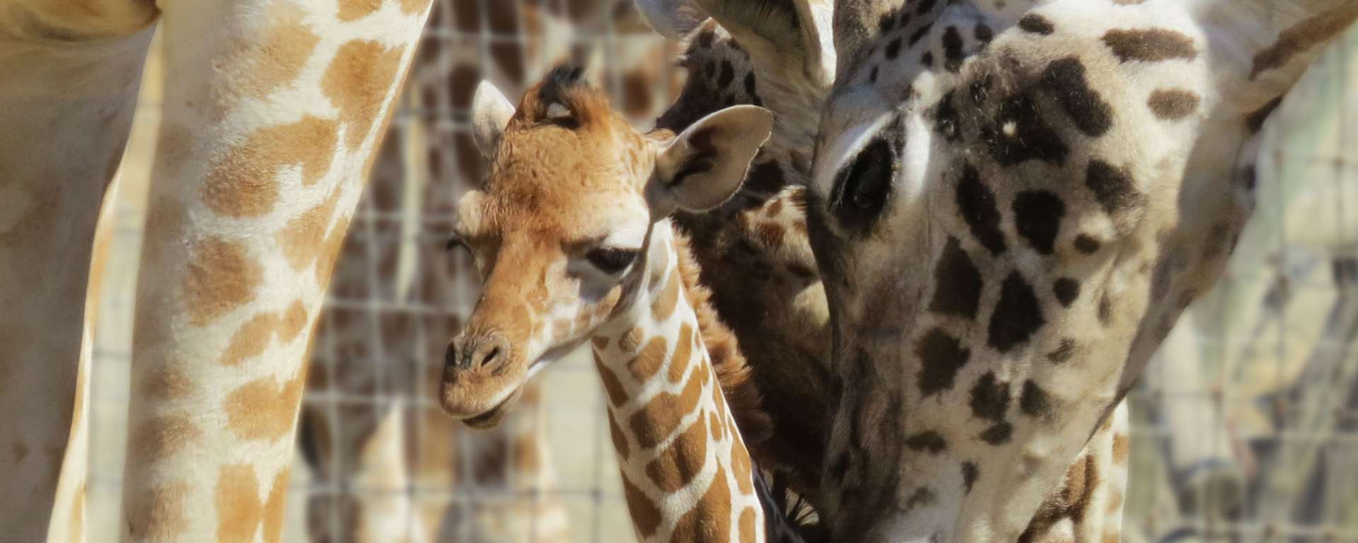 Baby Giraffe Tarra by Cheryl Crowley