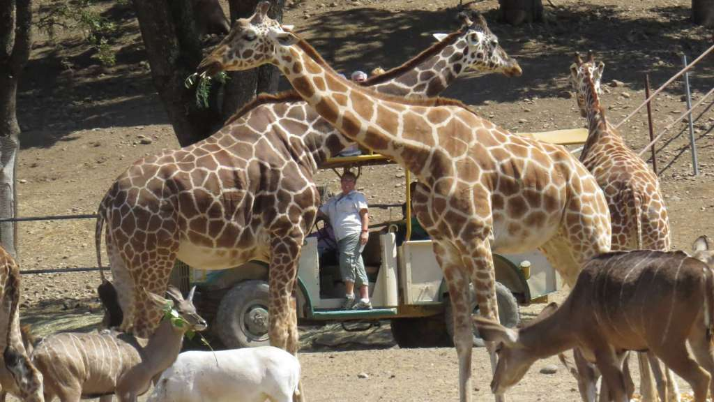 Safari with Giraffes