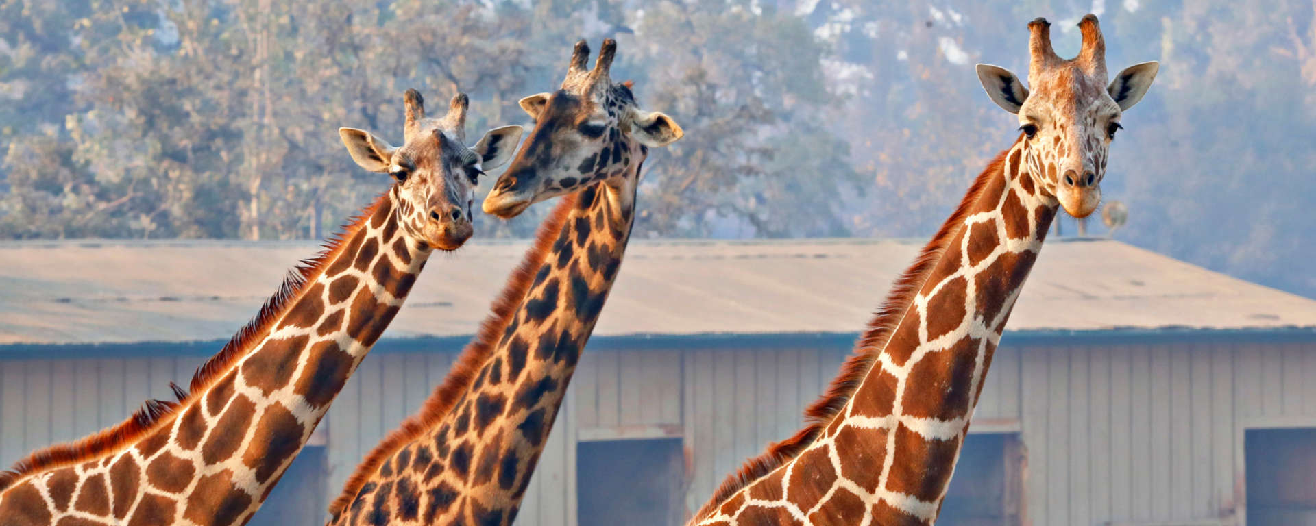 giraffes for fire update