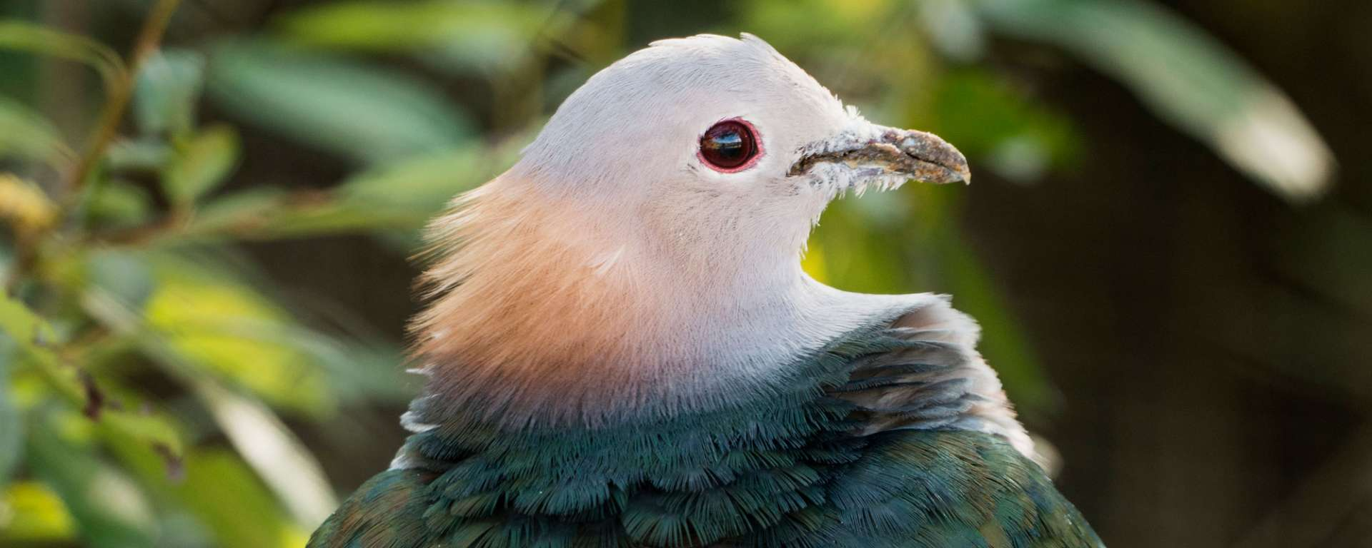 Green Imperial Pigeon by Charlie Morey