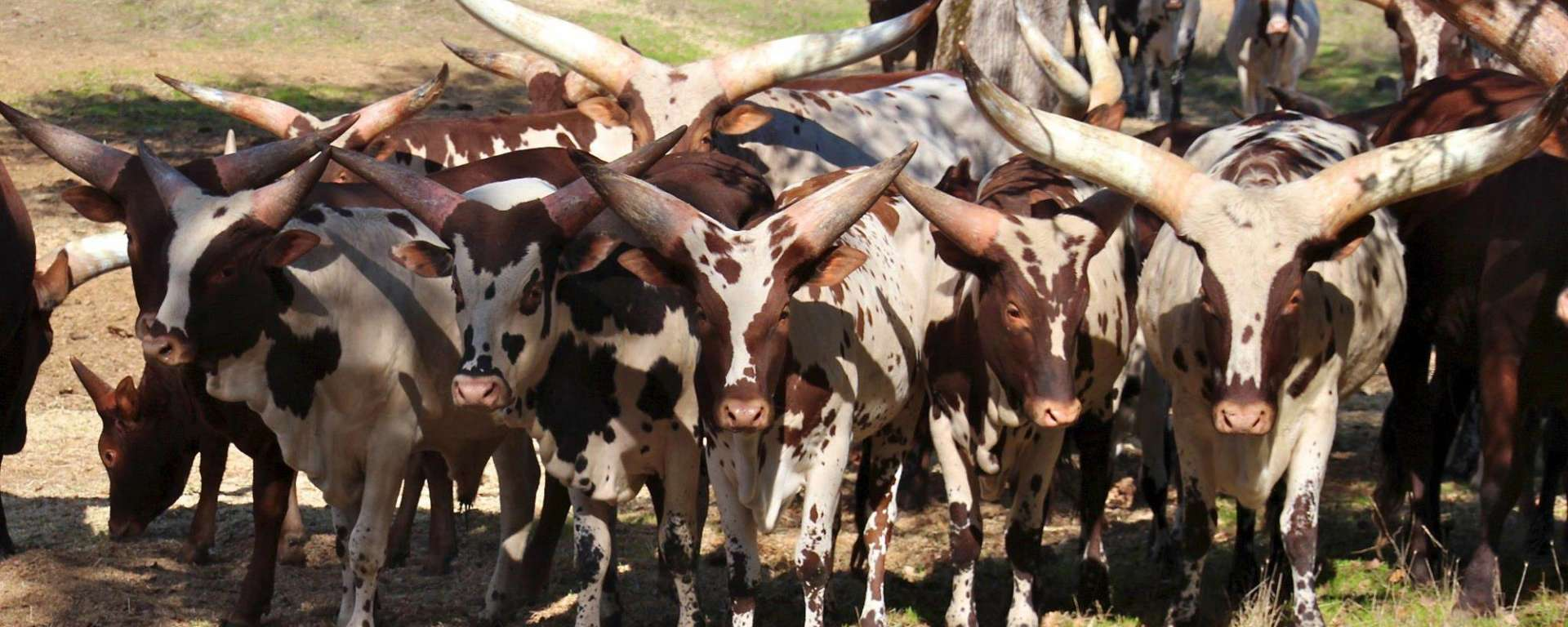 Group of Watusi Cattle