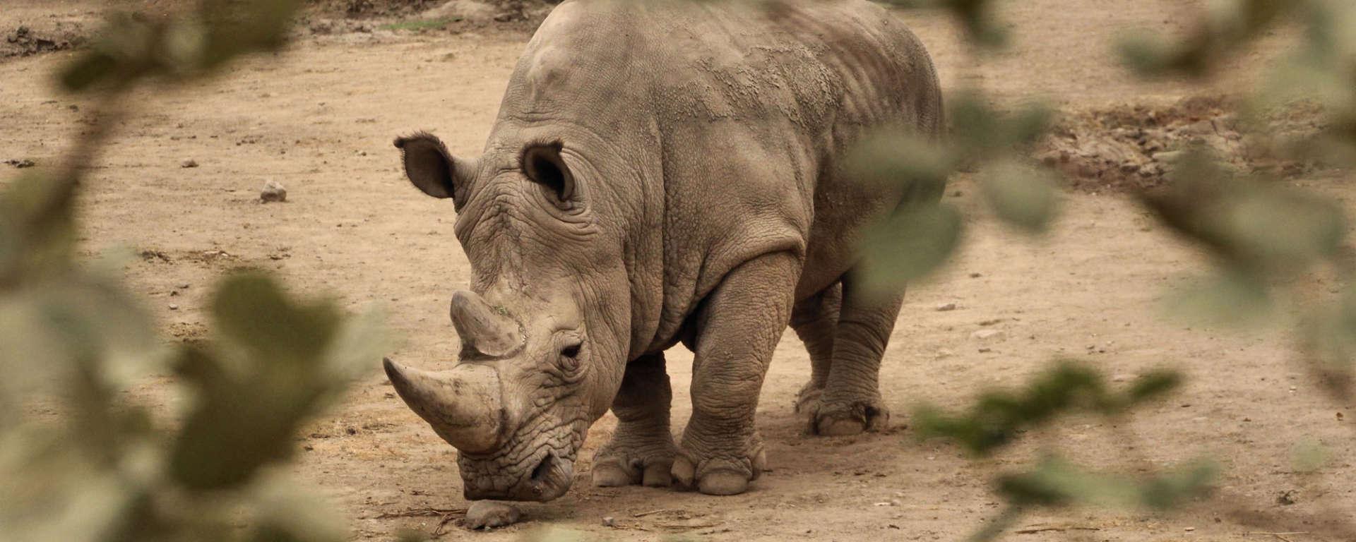 rhino by pat and david tollefson