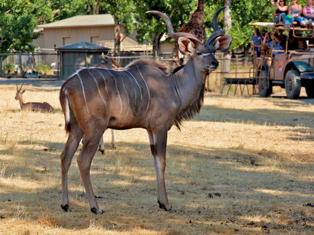 Safari Tour with Kudu
