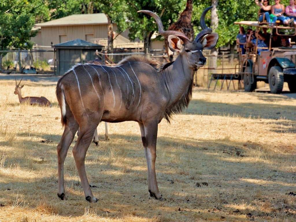Safari Tour with Kudu