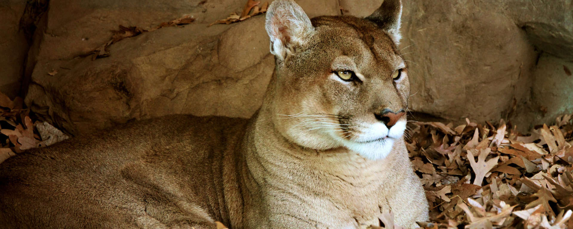 Mountain Lion for Conservation Talk