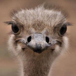 Ostrich by Tollefson