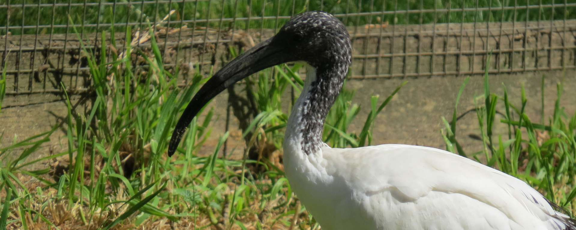 Sacred Ibis by Cheryl Crowley