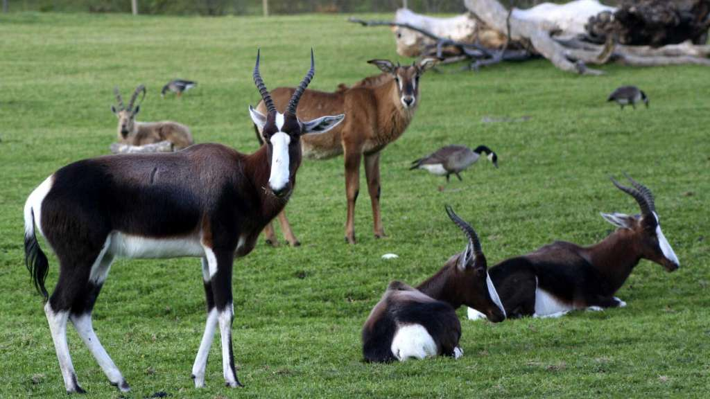 Safari Bontebok and Roan Antelope