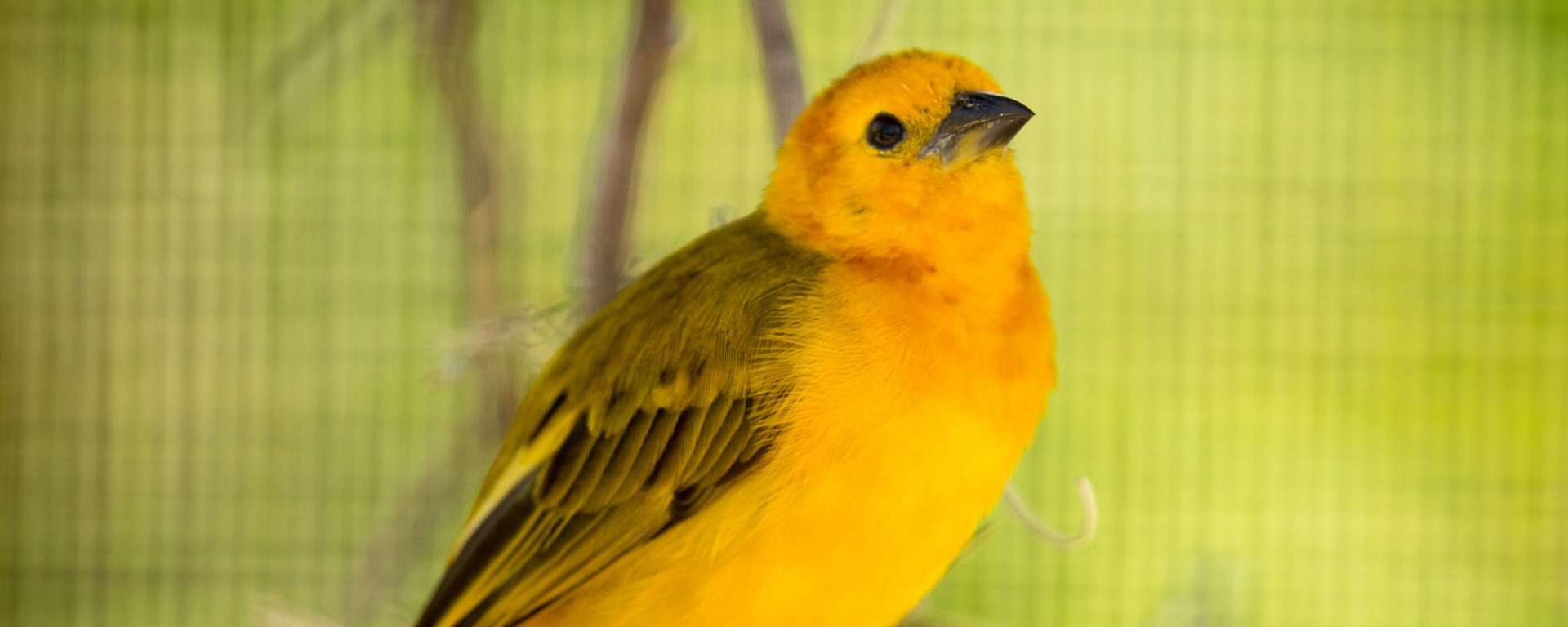Taveta Golden Weaver by Steve Murdock