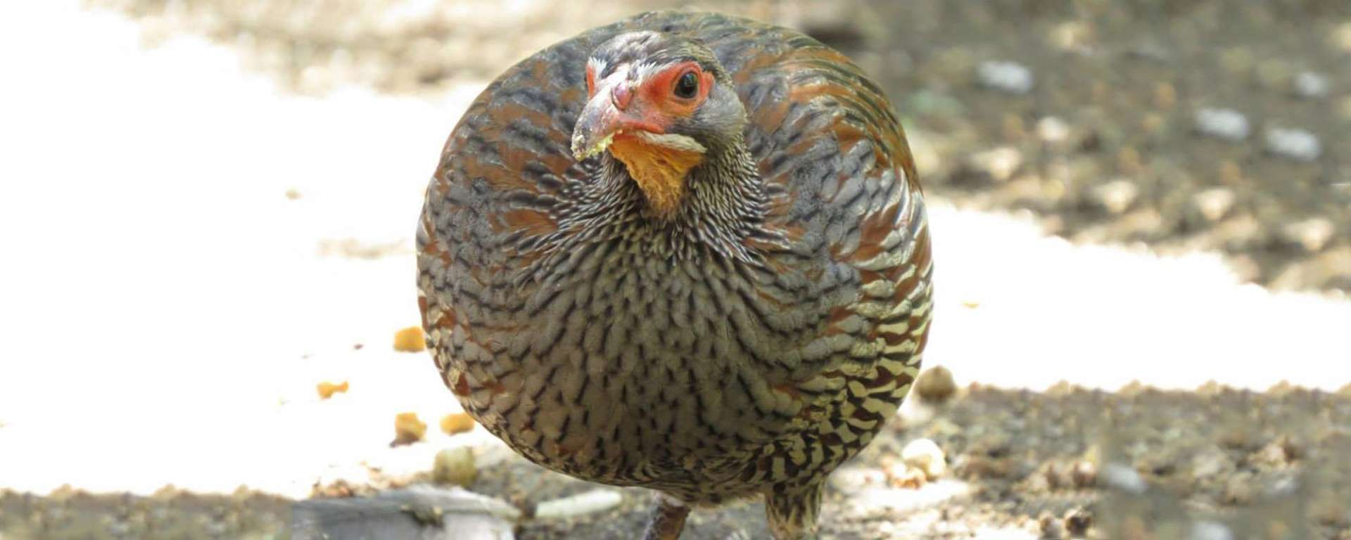Yellow-throated Francolin